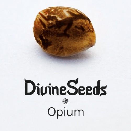 თესლი Opium - ფოტო 1