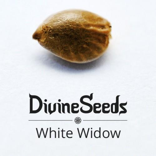 თესლი White Widow - ფოტო 1