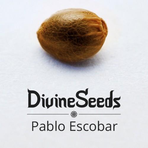 თესლი Pablo Escobar - ფოტო 1